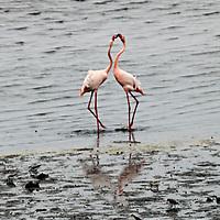 Africa, Namibia, Walvis Bay. Flamingo pair at Walvis Bay.
