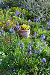 Spring border at Glebe Cottage including Camassias, Carex elata 'Aurea', Euphorbia palustris and Elaeagnus. Hakonechloa macra 'Aureola' in terracotta pot