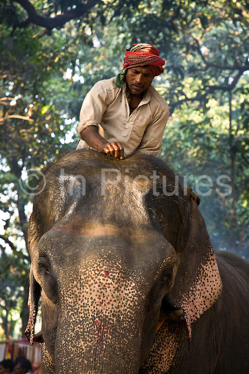 A mahout (handler) looks after his elephant as he oils his forehead to begin the process of painting / decorating his face with coloured chalk at the Sonepur animal fair, near Patna, Bihar, India.