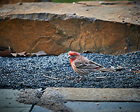 House Finch. Image taken with a Nikon Df camera and 300 mm f/4 telephoto lens (ISO 900, 300 mm, f/4, 1/320 sec)