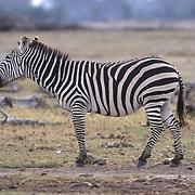 Burchell's Zebra, (Equus burchelli) Adult on Serengeti plains braying. Kenya. Africa.