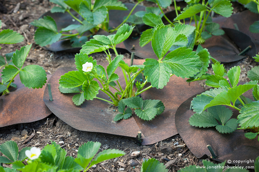Copper coated weed suppressant mats placed around young strawberry plants to protect against slugs and snails and reduce weeds