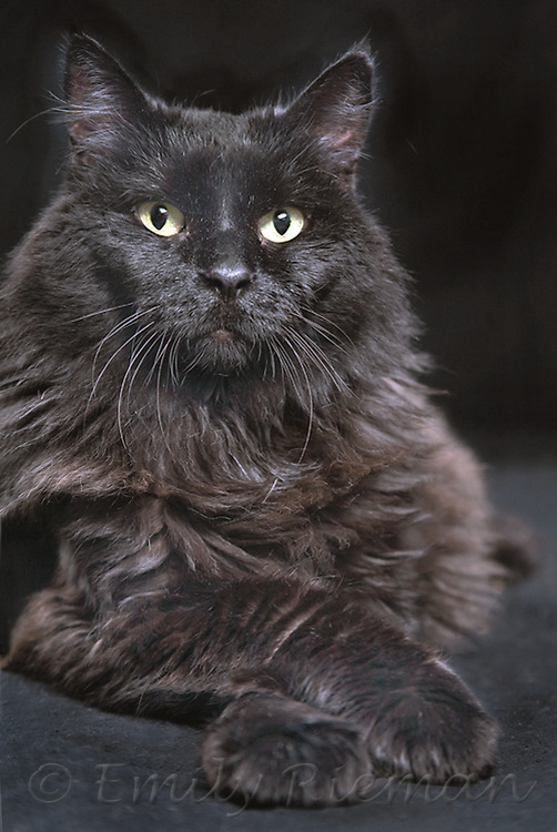 Black, long-haired cat with crossed paws.