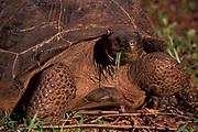 Galapagos Tortoise, Geochelone nigra, feeding on grass, eating, giant, large,