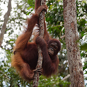 A young male orangutan (Pongo pygmaeus) in Tanjung Puting National Park. Central Kalimantan region, Borneo.
