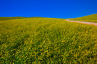 Fields of sweet clover, Custer State Park, Black Hills, South Dakota USA