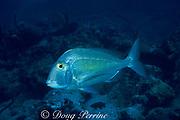 saucereye porgy, Calamus calamus, <br /> near wreck of the Rhone<br /> British Virgin Islands ( Caribbean Sea )