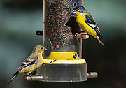 Female, left and male lesser goldfinch at backyard feeder, New Mexico