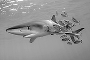 A Blue Shark, Prionace glauca, swims accompanied by Pilot Fish, Naucrates ductor, in the Azores Bank offshore Pico Island, Azores, a Portuguese archipelago in the North Atlantic. Image available as a premium quality aluminum print ready to hang.