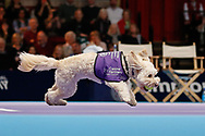 Ball dogs step onto the court at the Royal Albert Hall for the first time in UK history during this year's Champions Tennis event in association with Skinner's Pet Food, with dogs provided by Canine Partners. Hattie with a ball in her mouth.<br /> During the Champions Tennis match at the Royal Albert Hall, London, United Kingdom on 6 December 2018. Picture by Ian Stephen.