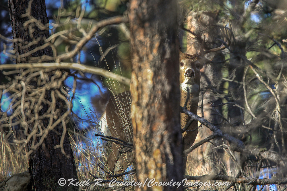 Whitetail buck peers from behind a tree near the base of Devils Tower in Wyoming