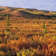Denali National Park, autumn colors saturate tundra landscape near Savage River. Alaska.