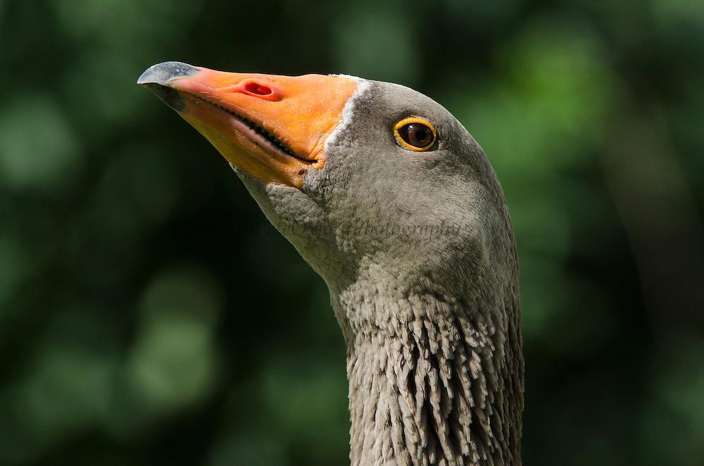 Greylag Goose (Anser anser)<br /> Secret World Wildlife Rescue Center<br /> Somerset<br /> England<br /> UK<br /> Captive