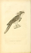 Sunda Frogmouth (Batrachostomus cornutus syn Podargus cornutus) from volume XIII (Aves) Part 2, of 'General Zoology or Systematic Natural History' by British naturalist George Shaw (1751-1813). Griffith, Mrs., engraver. Heath, Charles, 1785-1848, engraver. Stephens, James Francis, 1792-1853 Published in London in 1825 by G. Kearsley