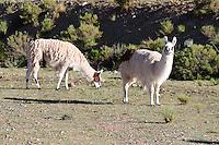 LLAMAS (Lama glama) PASTANDO, PROV. DE JUJUY, ARGENTINA