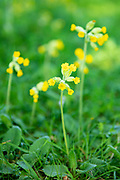 Cowslip, Primula veris, blooming in Springtime in The Cotswolds, Oxfordshire, UK