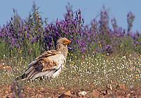 Egyptian Vulture (Neophron percnopterus) Extremadura, Spain. April 2009