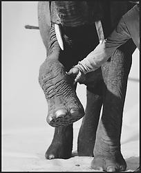 Elephant on white sweep