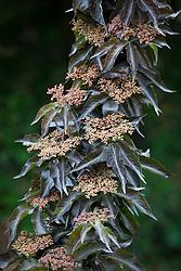 Sambucus nigra 'Black Tower'. Elder
