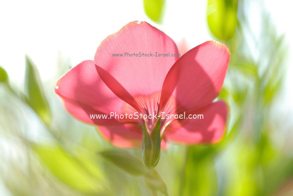 back lit, Red garden flower from the poppy family