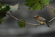 Cedar Waxwing on its perch while waiting to go eat some flying bugs neat Ithaca Falls.