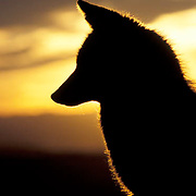 Coyote, (Canis latrans) Adult silhouetted against sunset. Fall. Captive Animal.