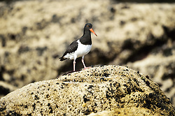 Chatham Oystercatcher ((Haematopus chathamensis) is a species of oystercatcher. It is a wading bird endemic to the Chatham Islands, New Zealand. This species is rated by the IUCN as endangered, and has a current population of 310 to 360 birds (2006 census). The main threat is from introduced predators.