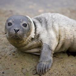 A baby harbor seal, phoca vitulina, in Marquoit Bay, Brunswick, Maine.