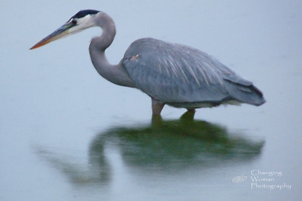 Great Blue Heron fishes during a soft rain.