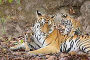 Bengal Tiger<br /> Panthera tigris <br /> Mother and eight week old cubs at den <br /> Bandhavgarh National Park, India<br /> *digitally removed foliage in foreground