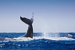 Humpback Whale Lobtailing, Megaptera novaeangliae, Hawaii, Pacific Ocean
