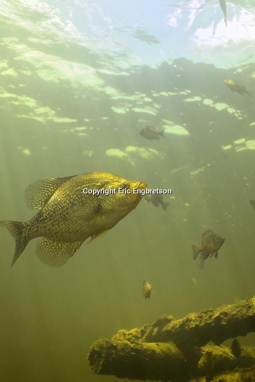 Black Crappie<br /> <br /> Engbretson Underwater Photography
