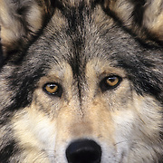 Gray Wolf (Canis lupus) portrait of an adult. Captive Animal