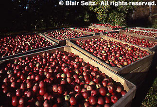 Apple Harvest, Adams Co. Orchard, PA