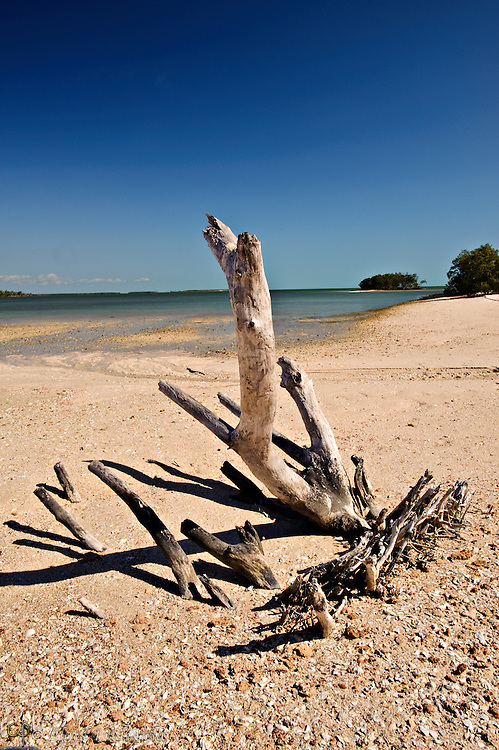 Dead sun-bleached mangrove exposed at low tide on Rabbit Key, Everglades, Florida