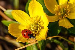 Winterakoniet, Eranthis hyemalis zevenstippelig lieveheersbeestje, Coccinella septempunctata