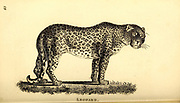 Leopard from General zoology, or, Systematic natural history Part I, by Shaw, George, 1751-1813; Stephens, James Francis, 1792-1853; Heath, Charles, 1785-1848, engraver; Griffith, Mrs., engraver; Chappelow. Copperplate Printed in London in 1800. Probably the artists never saw a live specimen