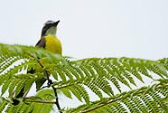 Social Flycatcher, Myiozetetes similis