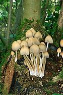 Common Inkcap - Coprinopsis atramentaria