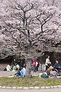 Cherry blossoms / Sakura