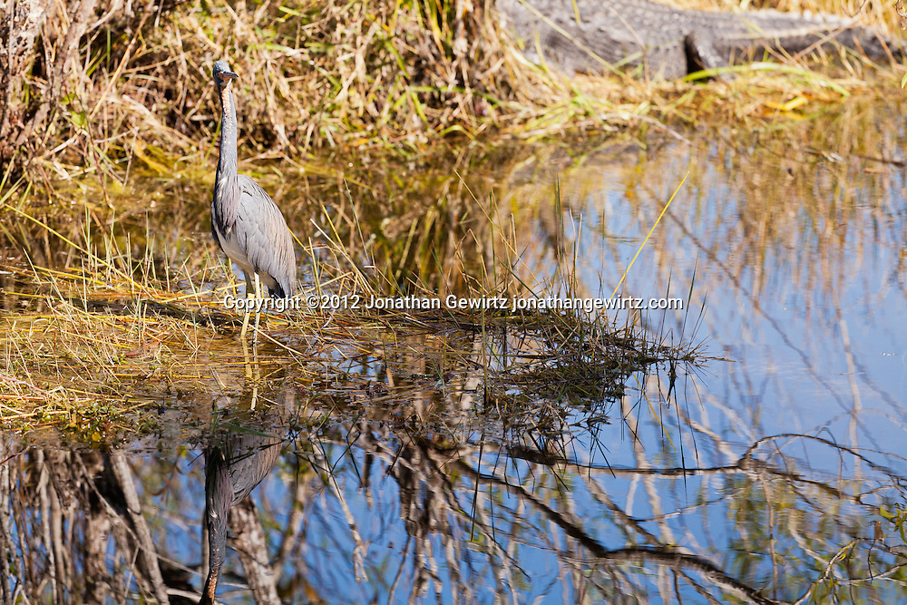 A Tricolored Heron (Egretta tricolor) and American Alligator (Alligator mississippiensis) in a canal next to the Anhinga Trail in Everglades National Park, Florida. WATERMARKS WILL NOT APPEAR ON PRINTS OR LICENSED IMAGES.