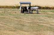 Nederland, Leuth, 25-7-2018Koeien die buiten in de wei staan krijgen extra hooi, worden bijgevoerd, omdat het gras niet meer groeit en door de droogte vergeeld en dood is . Door de aanhoudende droogte en hitte, warme weer, hittegolf, hebben mens en dier het moeilijk .Foto: Flip Franssen