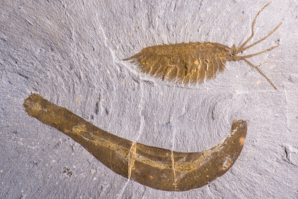 This is a beautiful double specimen of Ottoia prolifica and Leanchoilia superlata (lateral aspect) from the famous Burgess Shale site in British Columbia, Canada showing beautiful soft tissue preservation
