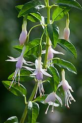 Fuchsia magellanica Mauve Taupe but Bob says remove mauve colour and use for Hawkshead