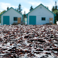 The seaweed known as dulse dries in the sun at Roland's Sea Vegetables near Dark Harbour, on the west coast of Grand Manan Island.  The seaweed is said to be the best in the world (at least by Grand Manan locals),  and is an export that is far more reliable than fish, although not as profitable. Photo by William Drumm.