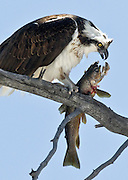 An osprey, Pandion Haliaetus, eats a trout it just caught in the Madison River in Yellowstone National Park.