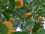 close up of tree with oranges