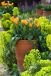 Tulipa 'Orange Emperor' in tall terracotta pots surrounded by Euphorbia characias