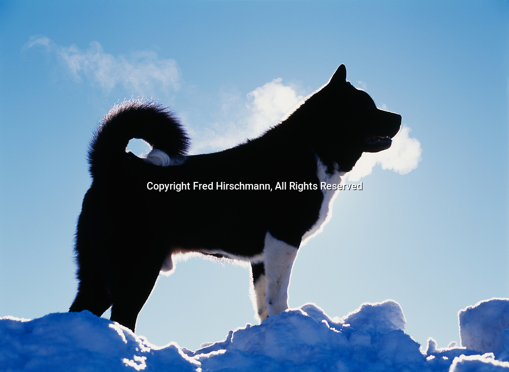 """Akita, AKC, 9-year-old """"Deuce"""" photographed at Bluff Park Farm and owned by Nicki Stewart of Fairbanks, Alaska.  (PR)"""