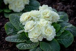 Scented double flowers of Primula Belarina Cream syn. 'Kerbelcrem' - Belarina Series.